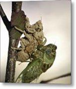 Emerging - Cicada 2 Metal Print
