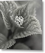 Emerging Hydrangea Metal Print