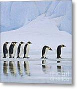 Emperor Penguins Metal Print