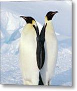 Emperor Penguins, Weddell Sea Metal Print