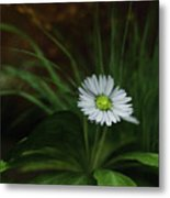 English Daisy Metal Print