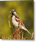 English Sparrow Bringing Material To Build Nest Metal Print