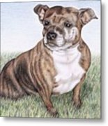 English Staffordshire Terrier Metal Print