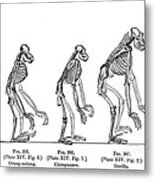 Ernst Haeckel, Evolution Of Man, 1879 Metal Print