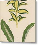 Euonymus Japonica Aurea Variegata, Maranta Micans Metal Print