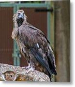Eurasian Black Vulture 1 Metal Print