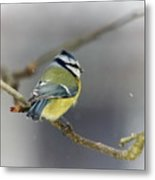 Eurasian Blue Tit With Snow Metal Print