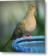 Mourning Dove On Birdbath Metal Print