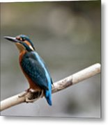 Eurasian Kingfisher Metal Print