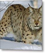 Eurasian Lynx  In Snow Metal Print