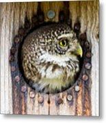 Eurasian Pygmy Owl In Profile Metal Print