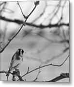 European Goldfinch 1 Metal Print