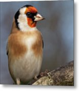 European Goldfinch Bird Close Up   Metal Print