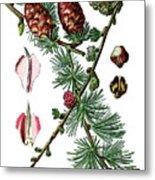 European Larch, Pinus Larix Metal Print