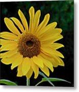 Evening Sunflower Metal Print