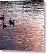 Evening Swim Metal Print