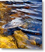 Everglades Alligator Metal Print