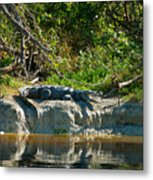 Everglades Crocodile Metal Print