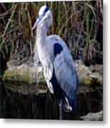 Everglades Heron Metal Print