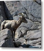 Ewe Bighorn Sheep Metal Print