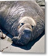 Exhausted Elephant Seal Metal Print