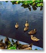 Exotic Birds Of America Ducks In A Pond Metal Print