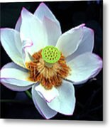Exotic Lotus Metal Print