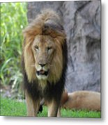 Expressive Male Lion Prowling Around In Nature Metal Print