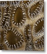 Extreme Close-up Of A Crust Anemone Metal Print