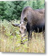 Eye-contact With The Moose Metal Print