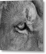 Eye Of The Lion #2  Black And White  Metal Print