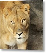 Eyes Of The Lioness Metal Print
