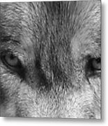 Eyes Of The Wild Metal Print