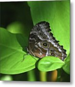 Eyespots On The Closed Wings Of A Blue Morpho Butterfly Metal Print