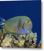 Eyestripe Surgeonfish Metal Print by Dave Fleetham - Printscapes