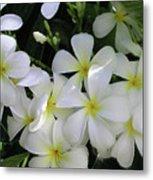 F2 Plumeria Frangipani Flowers Hawaii Metal Print