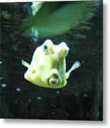 Face Of A Horned Boxfish Swimming Underwater Metal Print