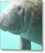 Face Of A Manatee Swimming Underwater Metal Print