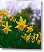 Daffodils Sky Metal Print