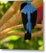 Fairy Bluebird Male Digital Oil  Metal Print