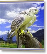 Falcon Being Trained H A With Decorative Ornate Printed Frame. Metal Print