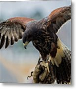 Falcon On Gloved Hand 5251 Metal Print