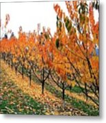 Fall Cherry Orchard Metal Print