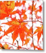 Fall Color Maple Leaves At The Forest In Kumamoto, Japan Metal Print