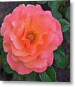 Fall Gardens Full Bloom Harvest Rose Metal Print