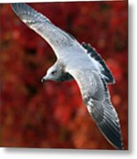 Fall Gull Metal Print