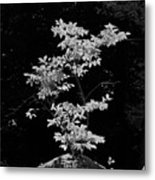 Fall Illumination In B/w Metal Print