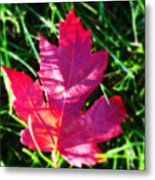 Fallen Maple Leaf Metal Print