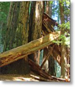 Fallen Redwood Trees Forest Metal Print