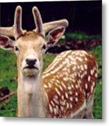 Fallow Deer Portrait Metal Print